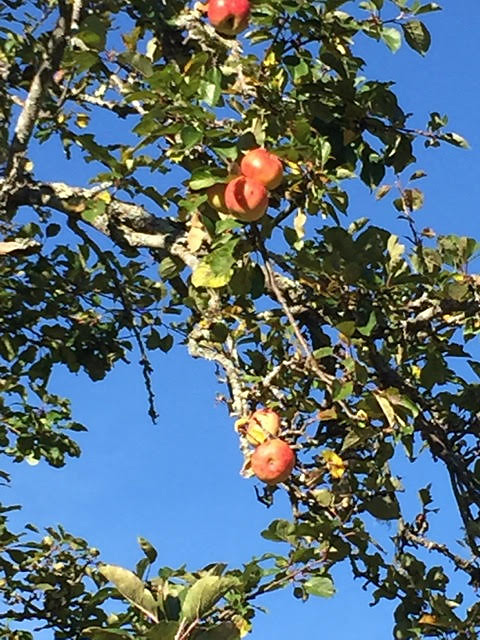 Apples on the Famous AppleTree-Schmid Preserve-L McSwain